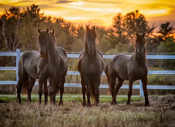 Stallions of Majestic Friesians