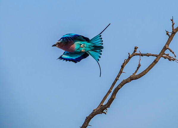 Lilac Breasted Roller, Kruger National Park, South Africa.