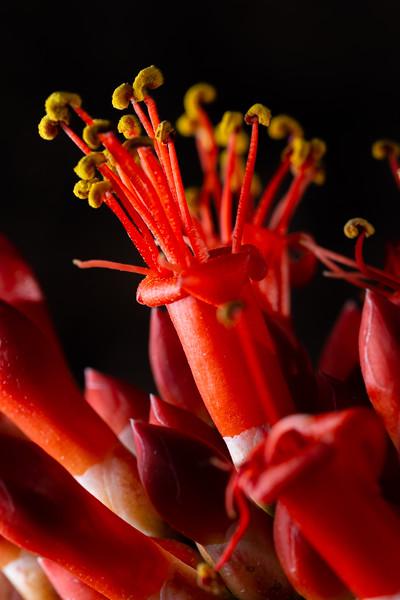 Ocotillo flowers (Fouquieria splendens) closeup, Ironwood National Monument, Sonoran Desert, Pima County, Arizona