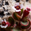 Euphorbia arizonica, Arizona sandmat, Ironwood National Monument, Sonoran Desert, Pima County, Arizona
