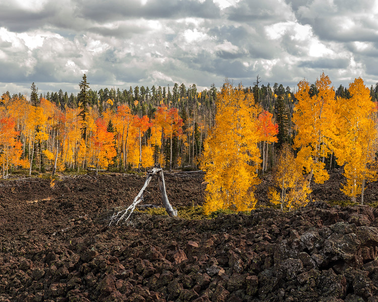 Aspens in lava flow, near Cedar Breaks National Monument, Utah