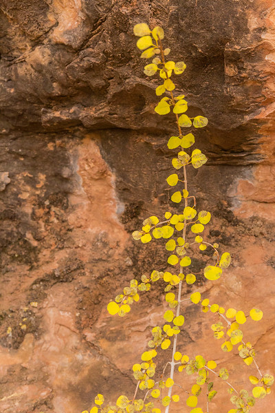 New Aspen, Spring Cave trail, Needles Unit of Canyonlands National Park, Utah