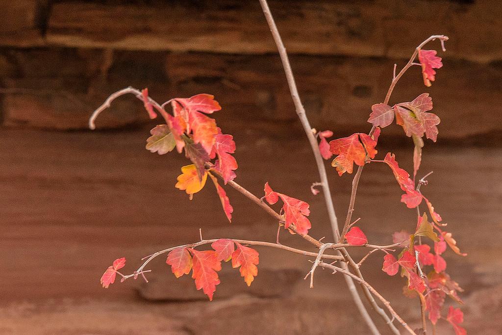 Oak, Spring Cave trail, Needles Unit of Canyonlands National Park, Utah
