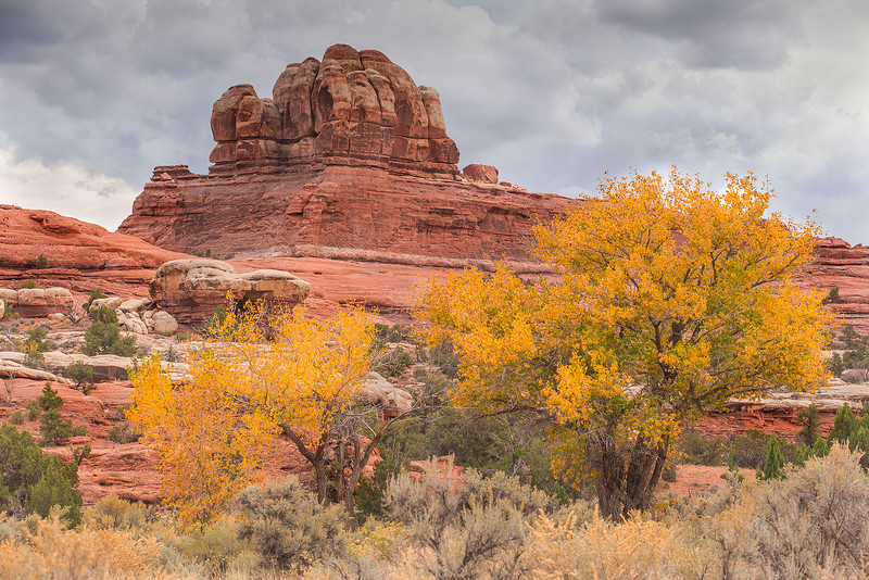Cottonwoods in fall color, Needles Unit of Canyonlands National Park, Utah