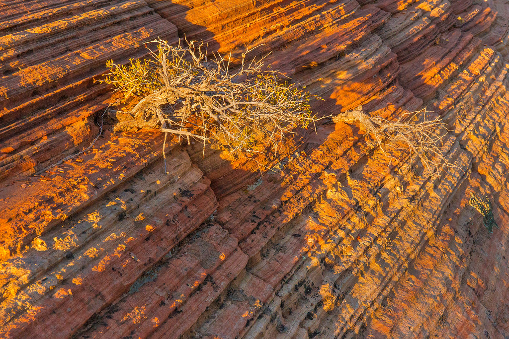 Hanging on by its roots; Coyote Buttes South, Vermillion Cliffs National Monument, Arizona