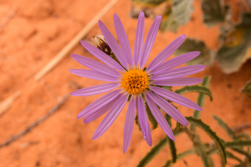 Flower at Cottonwood Cove trail head, Vermillion Cliffs National Monument, Arizona