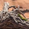 Grasshopper; Coyote Buttes South, Vermillion Cliffs National Monument, Arizona