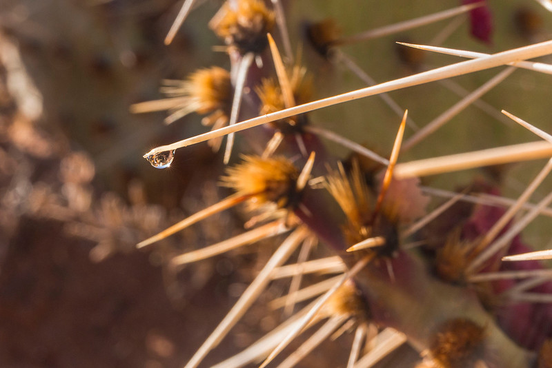 Last drop of water, spin of Beavertail Cactus, Potholes, Needles Unit of Canyonlands National Park, Utah