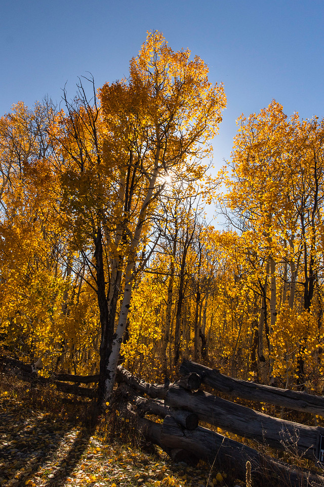Aspens in Zion high country, Zion National Park, Utah