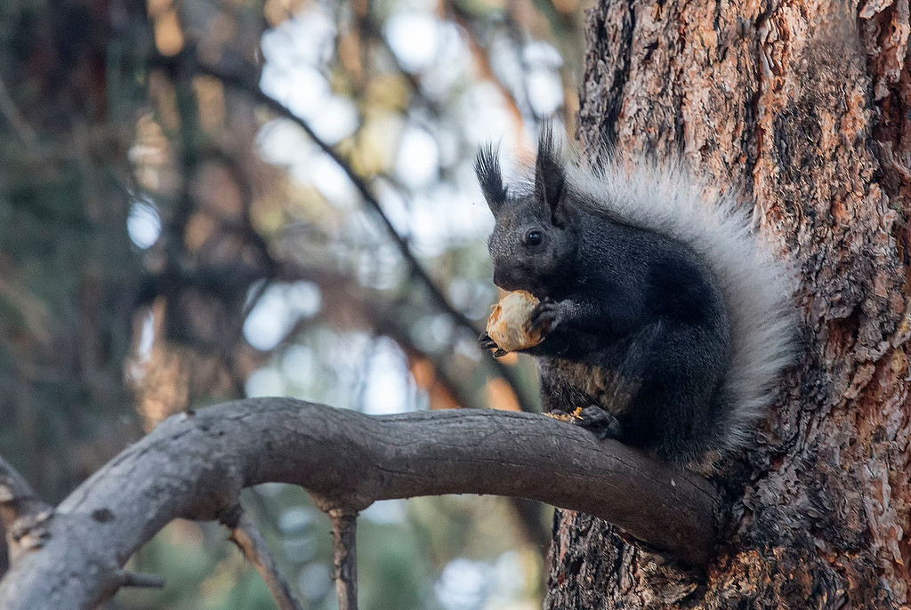 Kaibab Squirrel, campground, North Rim, Grand Canyon National Park, Arizona