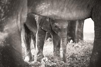 Baby Elephant under Mama