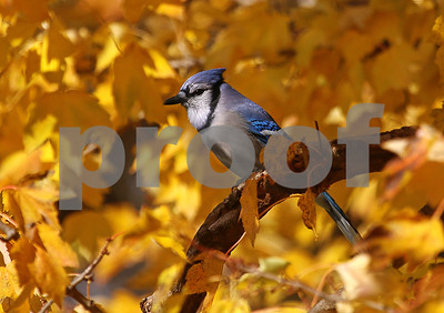 Autumn Blue Jay