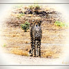 """""""JUST ANOTHER PRETTY FACE"""" - CHEETAH IN KAFUE NATIONAL PARK IN ZAMBIA, AFRICA"""