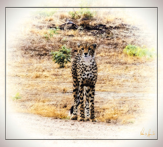 """JUST ANOTHER PRETTY FACE"" - CHEETAH IN KAFUE NATIONAL PARK IN ZAMBIA, AFRICA"