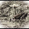 """""""I CAN ALMOST WALK ON WATER"""" - AN AFRICAN JACANA (AKA THE JESUS BIRD BECAUSE IT OFTEN APPEARS TO BE WALKING ON WATER), ON THE LUFUPA RIVER IN KAFUE NATIONAL PARK IN ZAMBIA, AFRICA"""