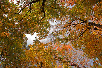 Autumn Trees Upward Look