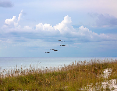 Pelicans flying near Carrabelle, Floria