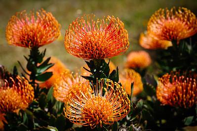 Protea Blooms, UCSC Arboretum, Santa Cruz, California