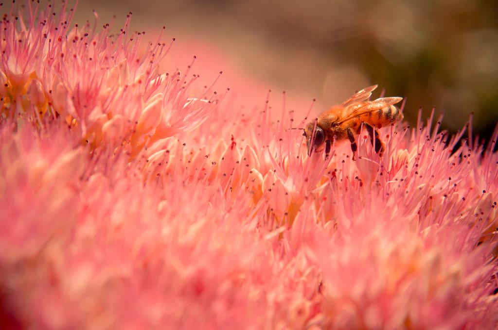 Bellevue Bee