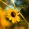 Lazy Eyed Bumblebee #1