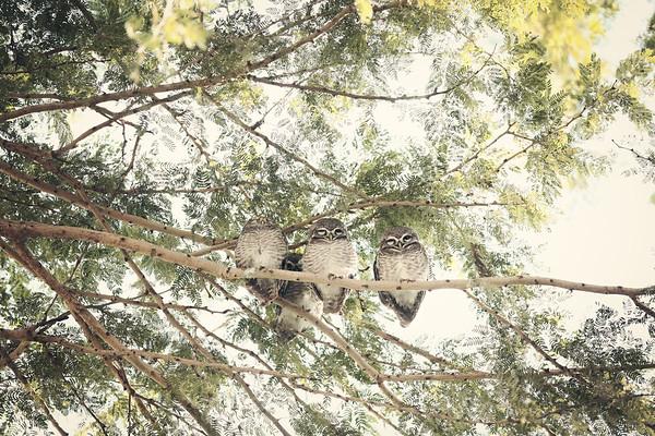 sleepy owls