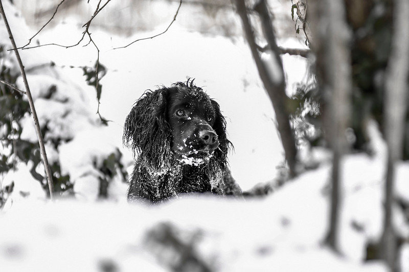 Dogs in the snow around Baydon 18-3-18