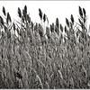 MARSH GRASSES