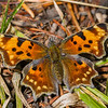 Green comma, Polygonia faunus, Targhee National Forest, Fremont County, Idaho