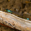 Ischnura cervula, Pacific forktail, Silver Lake, Harriman State Park, Fremont County, Idaho