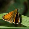European skipper, Thymelicus lineola, Targhee National Forest, Fremont County, Idaho