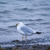 Ring-billed gull, Larus delawarensis, Island Park Reservoir, Targhee National Forest, Fremont County, Idaho