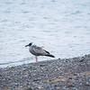 American herring gull, Larus argentatus smithsonianus, Island Park Reservoir, Targhee National Forest, Fremont County, Idaho