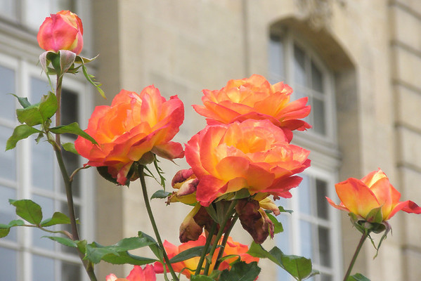 Roses at Musee Rodin, Paris