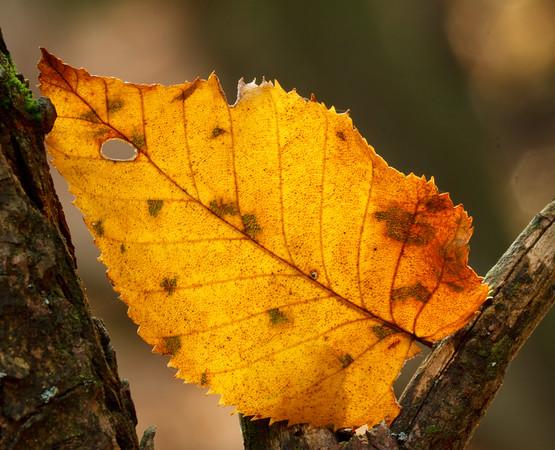 Backlit leaf in the woods