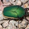 Figeater beetle (Cotinis mutabilis), Sonoran Desert, Pima County, Arizona