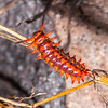 Pipevine swallowtail caterpillar (Battus philenor), San Pedro River, Cochise County, Arizona