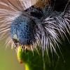 Malacosoma incurvum, southwestern tent caterpillar moth, Sonoran Desert, Pima County, Arizona