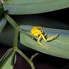 Goldenrod crab spider (Misumena vatia), Greater San Rafael Swell, Emery County, Utah