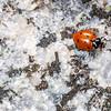 Convergent lady beetle (Hippodamia convergens), Kitt Peak, Pima County, Arizona