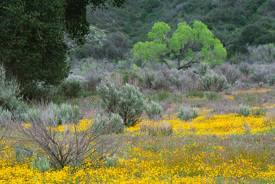 Wildflowers and Cottonwood