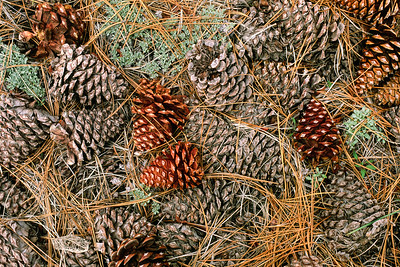 Pinecone Intimate