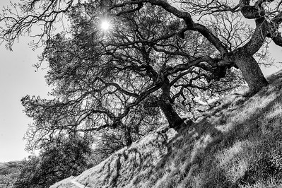 Oak Trees in Winter, Shell Ridge Open Space, Wanut Creek, California