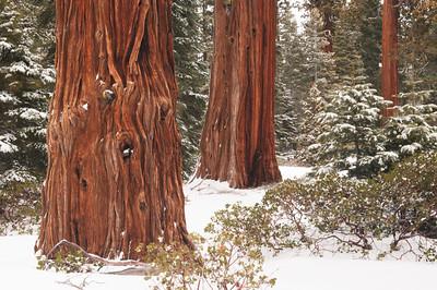 Tahoe Cedars