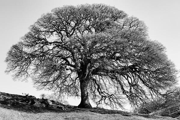 Oak Tree in Winter, Shell Ridge Open Space, Wanut Creek, California