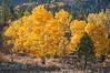 Aspens, Sierra Nevada, California