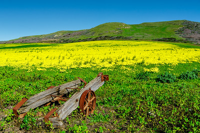 Mustard Flower Spring Santa Cruz California