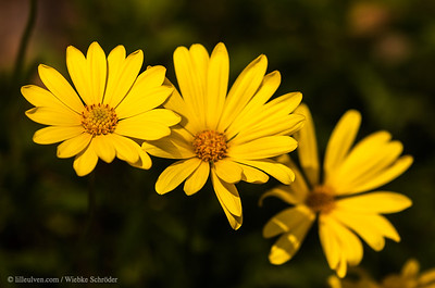 Maryland Golden Aster - Chrysopsis Mariana