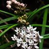 Asclepias angustifolia, Arizona milkweed, Sycamore Canyon, Santa Cruz County, Arizona
