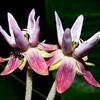 Asclepias speciosa, showy milkweed, Castle Valley, Greater San Rafael Swell, Emery County, Utah