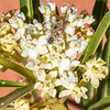 Asclepias labriformis, poison milkweed, Capitol Reef National Park, Wayne County, Utah